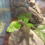 爬虫類飼育に虫の餌は必須なのか?